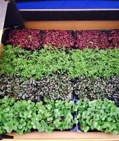 Cress: Shiso Mix 18 ea / Tasty sensation